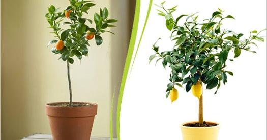 Fidanistanbul dan saksılı ve bakımlı limon ağacı 24 90 tl